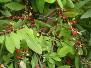 Coca-Pflanze-(Erythroxylum-Coca)-Vorteile-Wirkungen-Nebenwirkungen