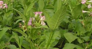Nikotin-Nicotiana-tabacum-vorteile-nachteile-wirkungen