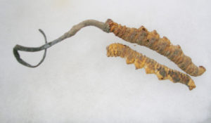 Cordyceps Sinensis Dosierung-adaptogen-libido