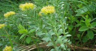 Rosenwurz-Rhodiola_rosea-wirkung-vorteile-adaptogen