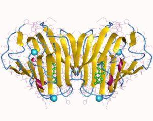 Sexualhormon bindendes Globulin (SHBG) Wirkung-Spiegel-Gefahren-Werte