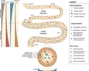 Darm-Mikrobiom-im-Darm-Wirkungen