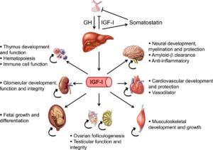 igf-1 insulinähnliche Wachstumsfaktor wirkungen-vorteile-nachteile