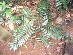tongkat ali-Eurycoma_longifolia-wirkung-testosteron-sex-potenz