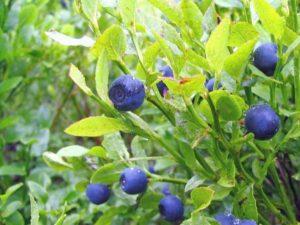 Blaubeeren Heidelbeere Vorteile-Wirkungen-Dosis