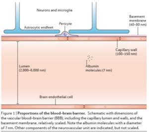 Blut-Gehirn-Schranke-Größenverhältnisse