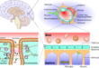 Blut-Hirn-Schranke reparieren heilen