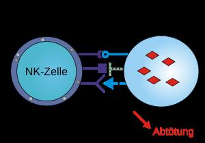 Natürliche Killerzellen NK-Zellen erhöhen-reduzieren-Wirkung-Krankheiten