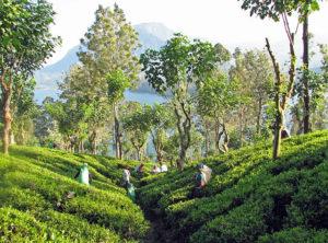 Ceylon Tee Plantage-Vorteile-Wirkungen-Dosis