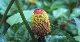 Jambu Parakresse Acmella oleracea Spilanthes-Vorteile-Nebenwirkungen-Dosis-Studien