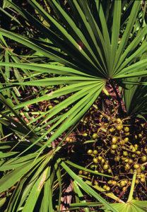 Sägepalmen-Extrakt saw palmetto Vorteile-Wirkung-Nebenwirkung