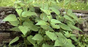 Brennnessel-Wurzel-Blätter-Vorteile-Nebenwirkungen-Dosis-Synergien