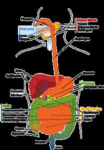 Verdauungsenzyme-Digestive-Enzymes-Vorteile-Arten-Kaufen